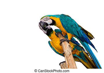 blue-yellow macaw