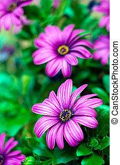 purple flowers background. african daisy, osteospermum...