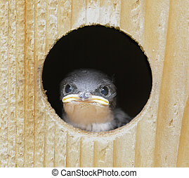 Baby Tree Swallow (tachycineta bicolor) in a birdhouse