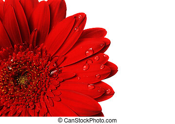 red gerbera flower close up  background