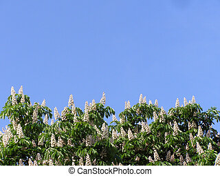 The efflorescent chinquapin tree against the background of...