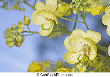 American Cassia flower under the blue sky