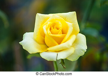 Yellow rose - yellow rose in the garden