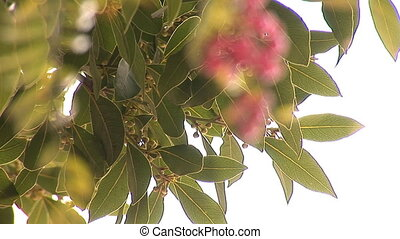 pink pepper and laurel tree