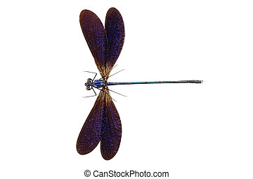 Blue dragonfly species Vestalis luctuosa male isolated on...