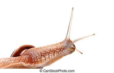 Funny snail looking away. Isolated on white background.