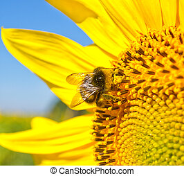 big bee on the sunflower