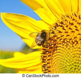 grande, abelha, girassol