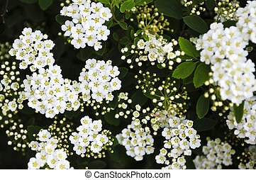 Bridal wreath shrub flowers - Closeup of flowering shrub...