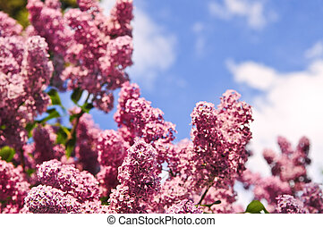 Lilac - Abundant flowers of purple lilac blooming in late...