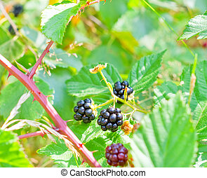 Blackberry bush with ripe and unripe berries