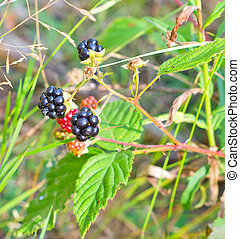 Blackberry bush with ripe and unripe berries in the wild forest