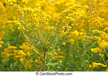 bumblee bee on goldenrod - Bumblebee on goldenrod in autumn...