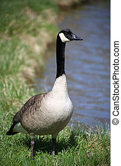 Wild goose - One big wild goose by the lake