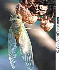 Cicada Wings Unfurled