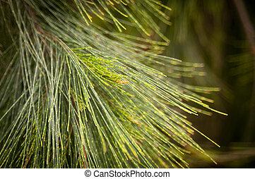 pino, árbol, agujas
