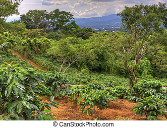 Coffee Plantation - Small coffee plantation on a hillside in...