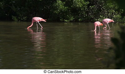 Family Pink (red) flamingos
