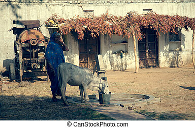 Old Indian senior female with cow in noon