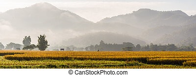 panorama of rice field in morning time in thailand
