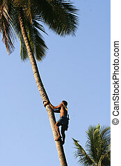 gathering coconuts - harvesting coconuts in India