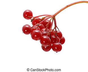 arrowwood - bunch of red arrowwood berries isolated on white