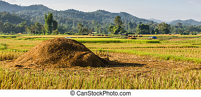 Pile of straw in rice field
