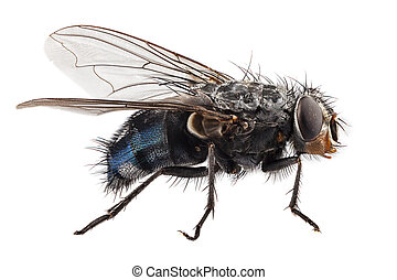 blue bottle fly species calliphora vomitoria isolated on...