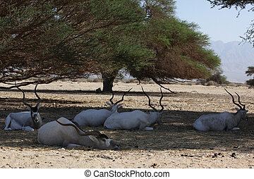 Herd of wild goats relaxing in shadows from tree on a hot...