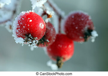 Red Rowan Tree Berries covered with frost - Red Rowan...