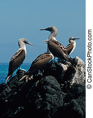 Blue-Footed Boobies - Blue-footed boobies Sula nebouxii in...