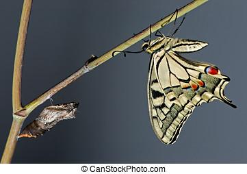 Papillon butterfly newborn - papillon butterfly pupa of...