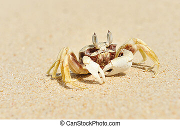 Crab on a beach - Ghost crab on a beach