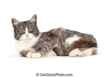 lying cat on white