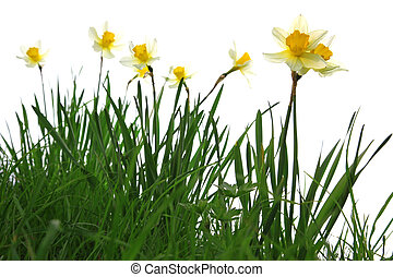 yellow spring daffodils in green grass isolated on white