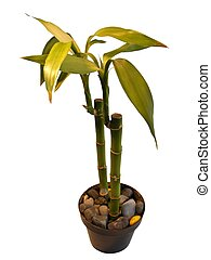 bamboo plant - isolated bamboo plant