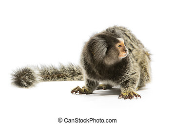 Marmoset Monkey - Marmoset monkey on white background