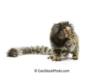 Marmoset Monkey - Marmoset monkey on white background
