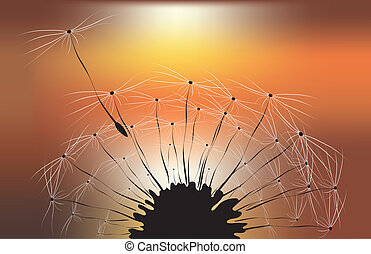 dandelion and sunset background