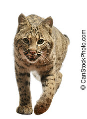 Bobcat - Closeup of bobcat on white background