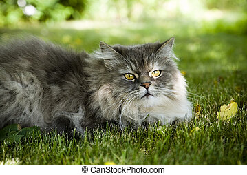 Siberian cat outdoors