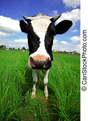 funny cow in green field at rural area