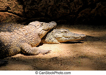 Two Nile Crocodiles Resting in Lair - Two Nile Crocodiles...
