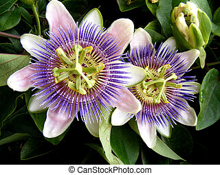 Passiflora caerulea - exotic flower close up
