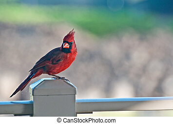 Red Northern Cardinal Bird on Post - This is a male red...