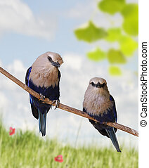 Tropical Birds - Blue Bellied Roller Birds Perching