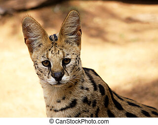 Close-Up of Serval African Wild Cat - Close-Up Picture of...
