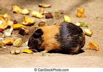 Little Guinea Pig Eating Fruit - Little Brown and Black...