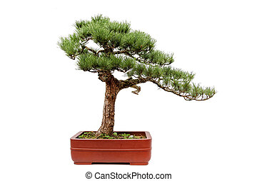 The bonsai of Guest-Greeting Pine on white - A small bonsia...