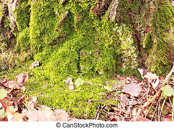 Moss on the old tree stump - Green moss on a dry tree in the...